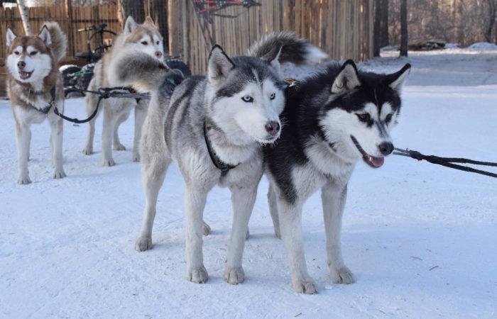 Husky dogs sled