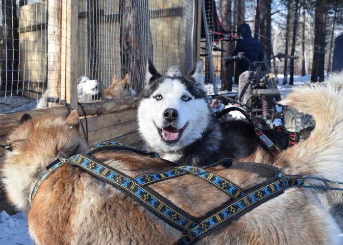 Happy face of Husky dog