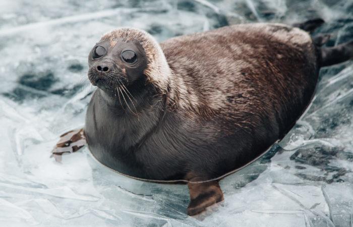 Cute Baikal seal nerpa