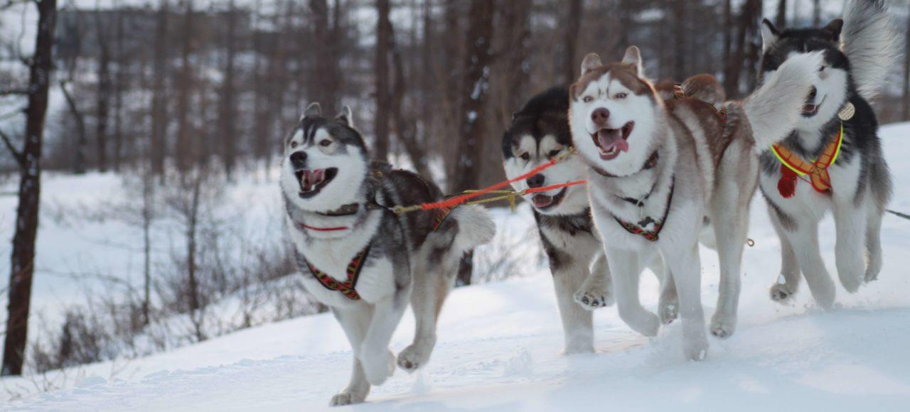 Husky dogs winter sledding