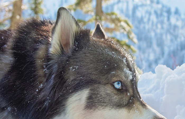 Husky with blue eyes lies in the snow